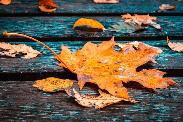 Autumn background with colorful fall maple leaves on rustic wooden table.