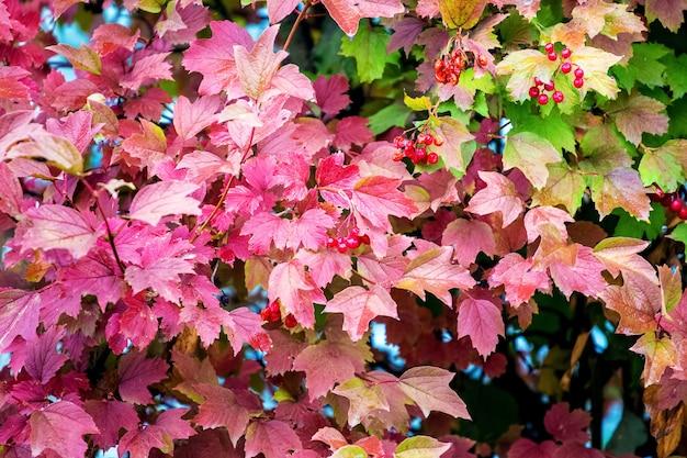 ガマズミ属の木と赤いベリーのカラフルな葉と秋の背景