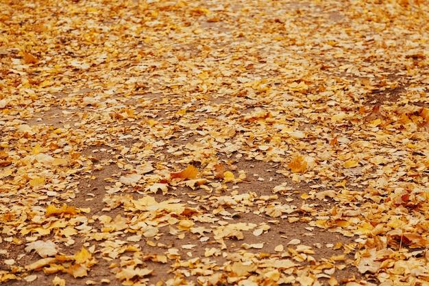 Осенний фон с красочными кленовыми листьями, лежащими на земле. натуральный ковер из желтых листьев. листва обои, кленовая листва