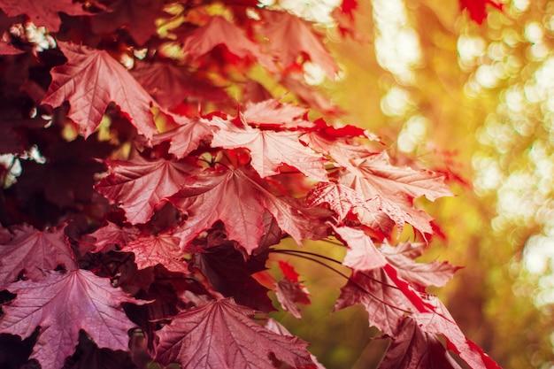 Осенний фон с красочными красными и желтыми листьями, падающими с дерева