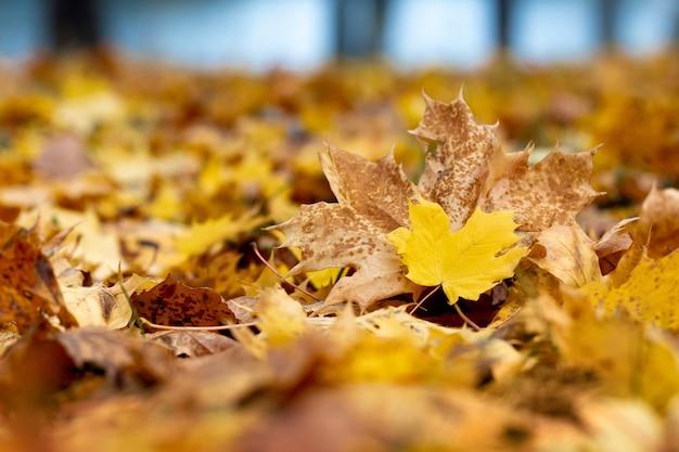 Осенний фон с сухими опавшими кленовыми листьями в лесу