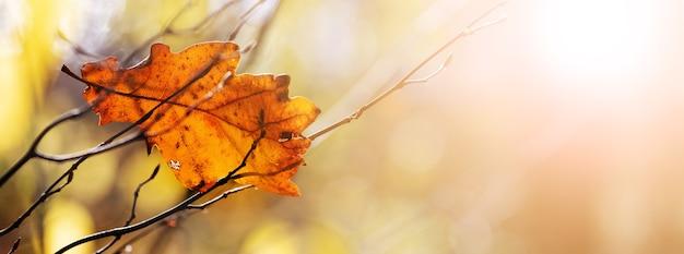 晴れた天気で背景をぼかした写真に乾燥したオークの葉と秋の背景
