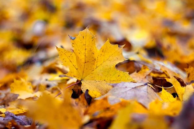 カエデの葉が落ちた秋の背景、森の秋