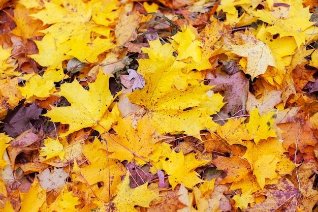Осенний фон с опавшими кленовыми листьями, вид сверху