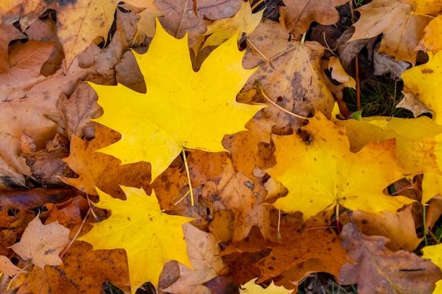 Осенний фон с опавшими желтыми кленовыми листьями