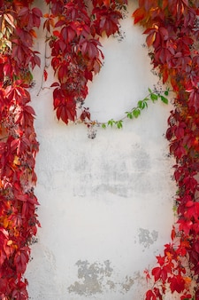 Autumn background with red leaves. wild grape on white wall.