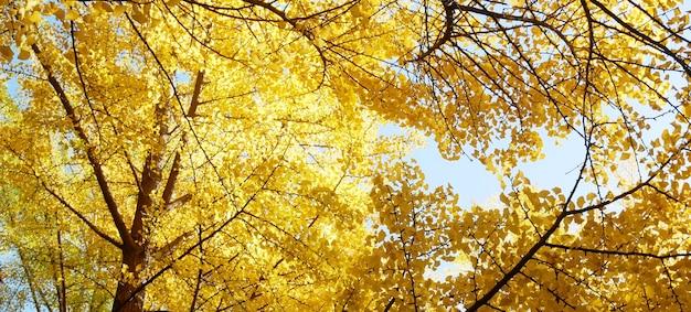 黄色のイチョウ葉と秋の背景。
