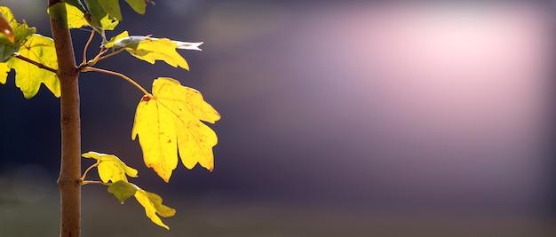 晴れた日の暗い背景に黄色の葉と秋の背景