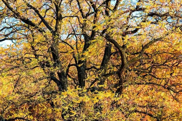 太い枝を持つ木に黄色い葉を持つ秋の背景