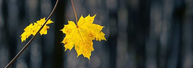 森、パノラマの暗い背景に黄色のカエデの葉と秋の背景