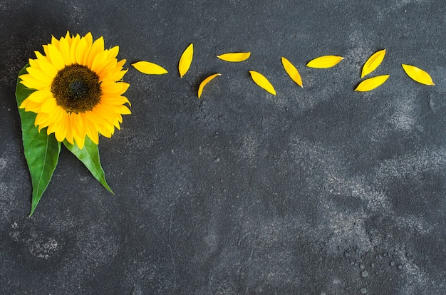 Autumn background with a yellow sunflower and petals on dark concrete.