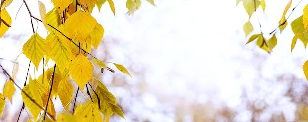 秋の背景。明るいぼやけた背景、コピースペースの木に黄色の秋の白樺の葉