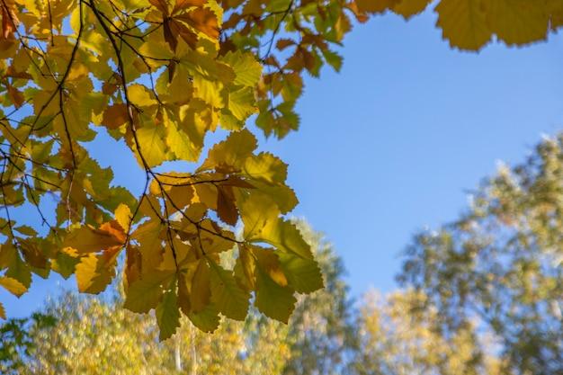 Осенний фон. желтые дубовые листья на фоне голубого неба с копией пространства.