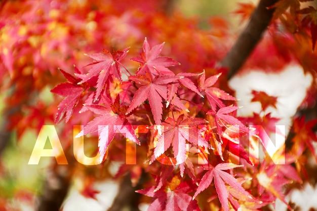 Autumn bakground. maple tree garden in autumn. fully red maple leaves in autumn. autumn background with warm autumn sun light.