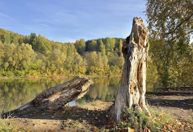 インヤ川の秋の土手急な斜面を背景にした木の幹の断片