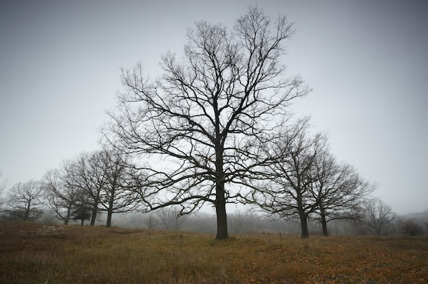 Autumn bare oaks in a fog