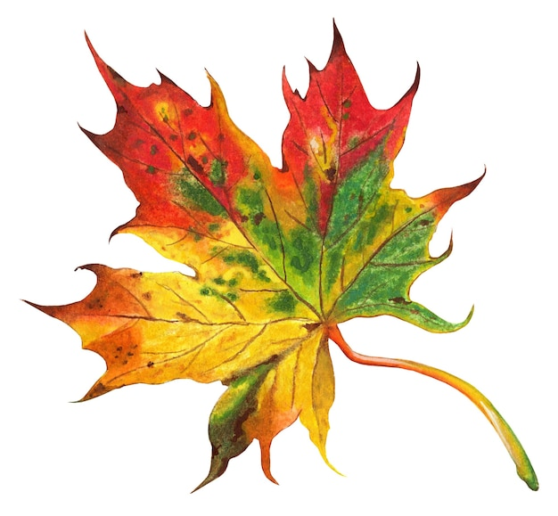 Autumn beautiful multicolored maple leaf red orange yellow green and brown on it isolated