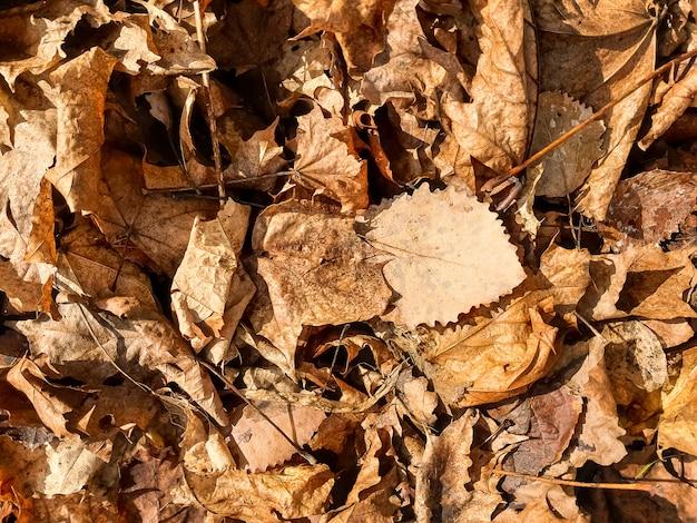 Осень. красивый солнечный свет и коричневые листья на земле в солнечном теплом лесу. лист дуба. привет осень.