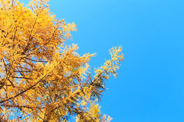 秋。青い澄んだ空を背景に美しい黄色の白樺の葉とカラマツの木の枝。自然な背景。