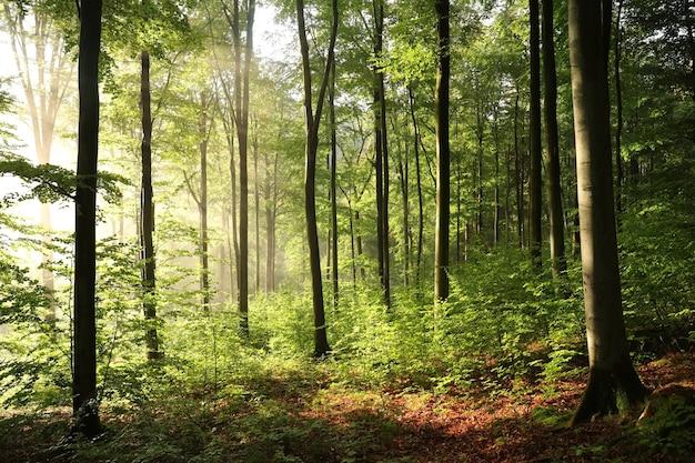 일출 동안 안개 낀 날씨에가 너도 밤나무 숲