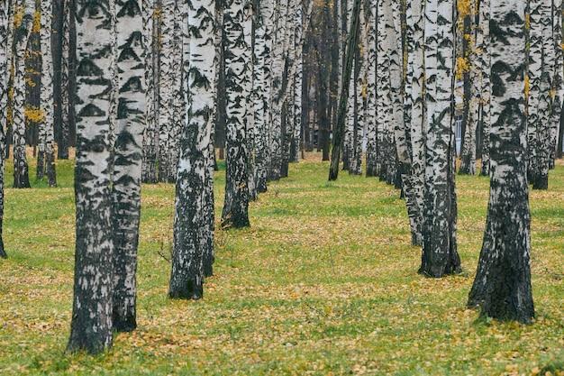 Осенняя березовая аллея. красивая лесная тропа с опавшими листьями.