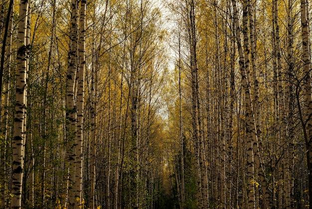 황금빛에 노란 단풍이 있는 가을 자작나무 숲