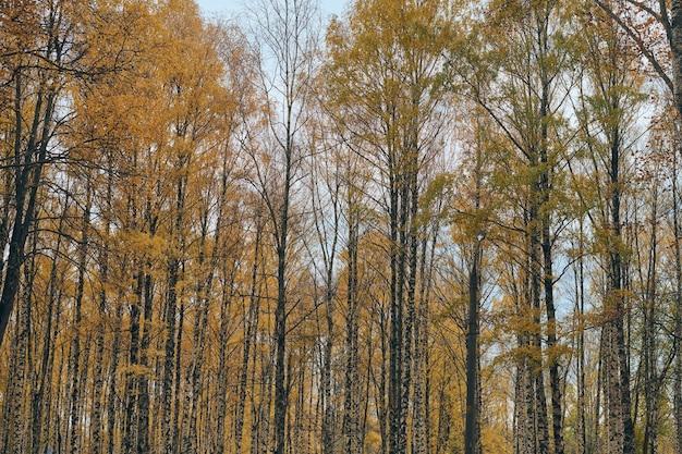 Осенняя береза венчает аллею. красивый лес с опавшими листьями.