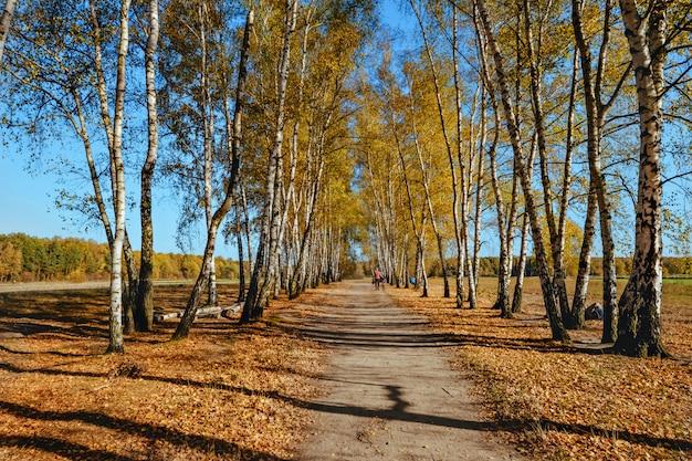 Autumn birch tree forest landscape