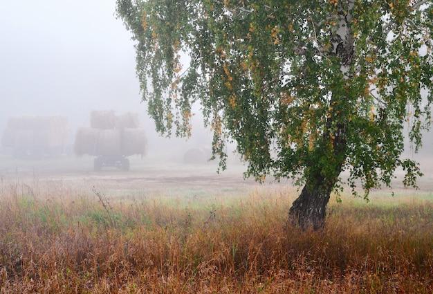 Осенняя береза с желто-зелеными листьями среди густой сухой травы валки сена на грузовых прицепах
