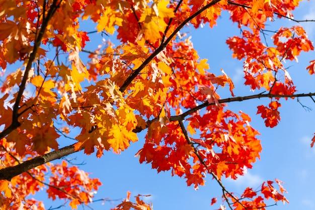 Осенние ветви дерева с красно-желтыми кленовыми листьями на фоне голубого неба