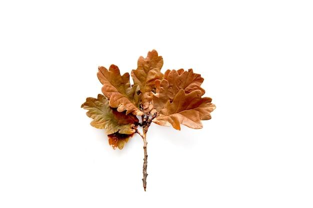 흰색 배경에 고립 된 오크 잎의가 갈색 지점. 템플릿 모형 가을, 할로윈, 추수 감사절 개념. 평평한 위치, 위쪽 보기, 복사 공간 배너.