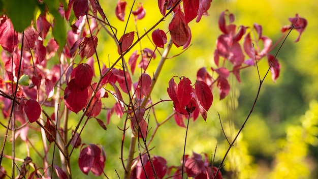 Осенний куст и красные и бордовые листья в солнечную погоду