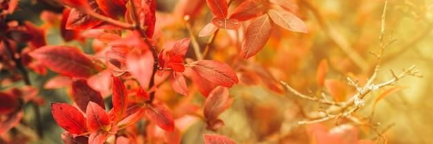Осенний куст с листьями черники. vacinium corymbosum осенью оставляет в саду ярко-бордово-красный цвет. садоводство и концепция природы. естественные красивые краски осени. баннер. вспышка