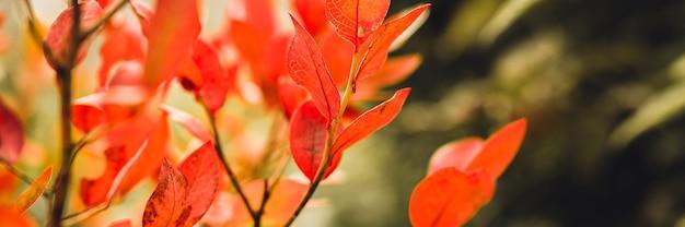 Осенний куст с листьями черники. vacinium corymbosum осенью оставляет в саду ярко-бордово-красный цвет. садоводство и концепция природы. естественные красивые краски осени. знамя