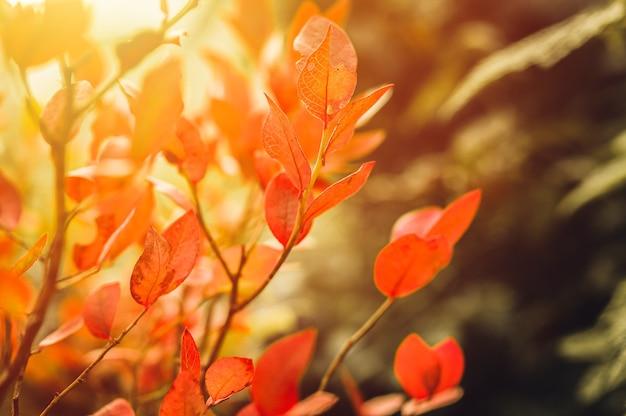 Осенний куст с листьями черники. vacinium corymbosum осенью оставляет в саду ярко-бордово-красный цвет. садоводство и концепция природы. естественные красивые краски осени. вспышка