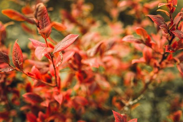 Осенний куст с листьями черники. vacinium corymbosum осенью оставляет в саду ярко-бордово-красный цвет. садоводство и концепция природы. естественные красивые цвета осени
