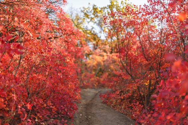Осенние кусты с красными листьями. осенние краски в городском парке