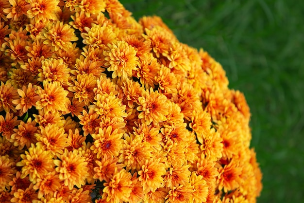 Autumn chrysanthemums blooming on bushes in the garden plant background