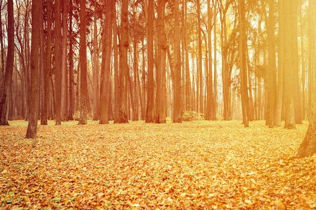 Осенний городской парк или лес, падающие деревья и опавшие желто-оранжевые листва на землю. вспышка