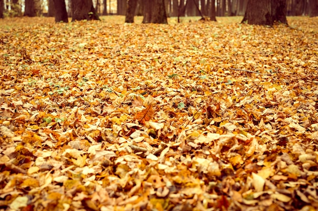 Осенний городской парк или лес, падающие деревья и опавшая желто-оранжевая листва на земле