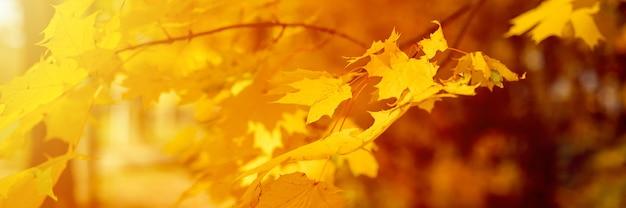 Осенний городской парк или лес в солнечный осенний день. ветви кленов с оранжевыми падающими листьями. хорошая погода. баннер. вспышка
