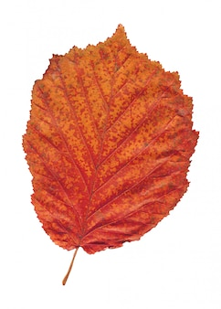 Autumn  colored red alder leaf isolated on white