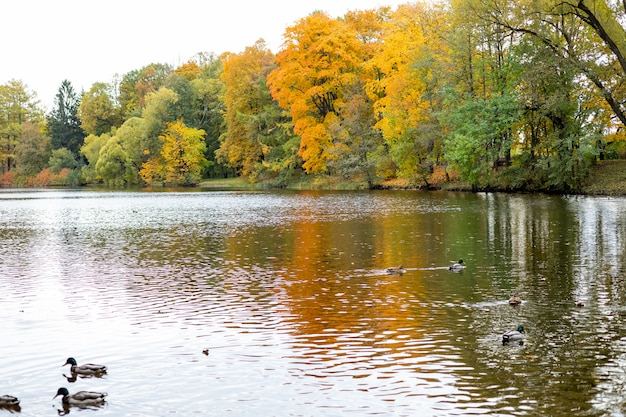 Autumn colorful foliage over lake with ducks and beautiful woods