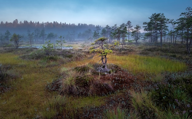 Autumn colorful landscape with dwarf pine trees on a swamp at sunrise in fog