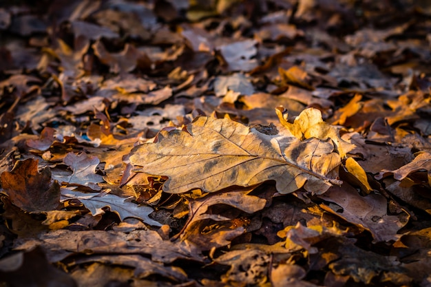 Autumn colorful oak leafs