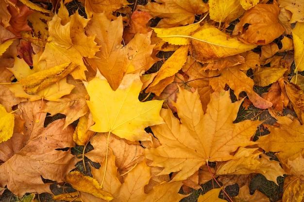 Осенние красочные оранжевые, красные и желтые кленовые листья в качестве фона на открытом воздухе.
