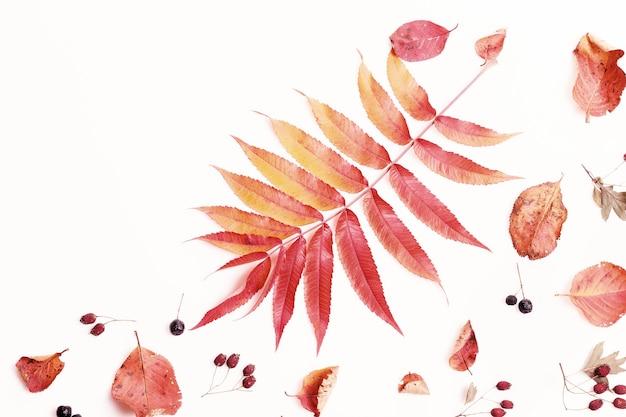 Осенняя композиция из осенних сухих разноцветных листьев и ягод аронии, боярышника на белом фоне. осень, концепция падения. плоская планировка, вид сверху, копия пространства