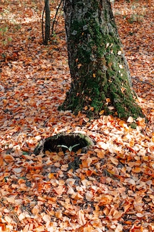 Autumn concept tree trunk covered with green moss among fallen leaves with autumn forest background