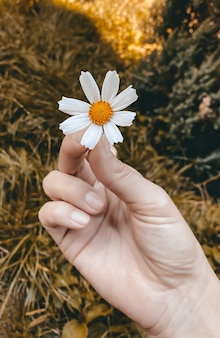 가을 노란색을 배경으로 여성의 손에 있는 코스모스의 가을 컨셉 흰색 꽃