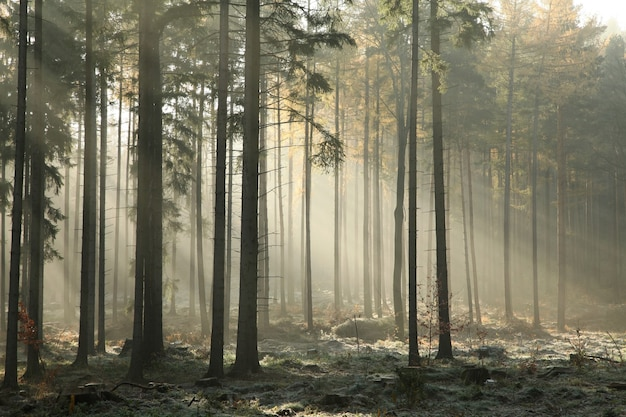 Autumn coniferous forest in foggy weather during sunrise